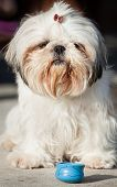 Shih tzu snall dog animal and woman