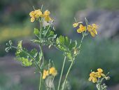 stock photo of celandine  - Bloomer celandine on a summer meadow in the early morning