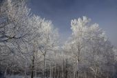 Frosted birches in New Hampshire