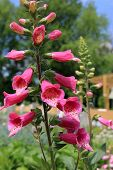Beauty in tall stalk of pink Foxglove