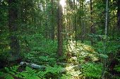 Forest In Northern Fern At Sunrise, Sunlight Passes Through Thickets Of Blackberry And Fern Highligh