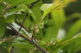 foto of scourge  - the chestnut gall wasp  - JPG