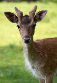 Fallow Deer (lat. Dama dama)