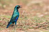 Greater Blue-eared Glossy Starling (lamprotornis Chalybaeus) Standing In Cut Grass