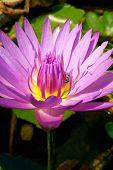 Purple Lotus In Pond