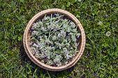 Medical Fresh Lemon Balm Flowers In Wicker Basket On  Garden Grass