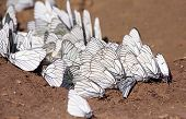 Black-veined White butterflies drink water.