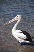 Pelican On Australian Coast