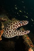Honeycomb Moray Eel portrait