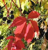 Fruitage And Leaves Of Parthenocissus Quinquefolia
