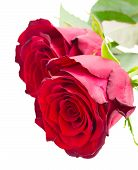 two scarlet red roses