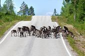 picture of laplander  - Reindeer herd crossing a country road in Lapland - JPG
