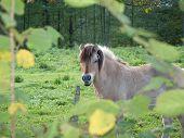 Haflinger Horse On Pasture