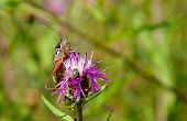 Grasshopper On Purple Thistle