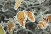 Frosty pattern on yellow leaves