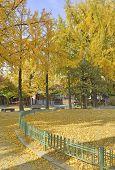 Autumn foliage - Ginkgo Trees in yellow autumn colors