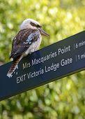 stock photo of kookaburra  - Kookaburra - JPG