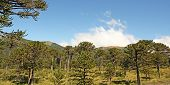 Araucaria Forest, Chilean Patagonia, Chile.