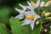 Flower Of Eggplant
