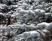 Fir Branches On Snow