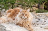 Red Maine Coon Cat Portrait