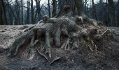 roots of an old tree in the park