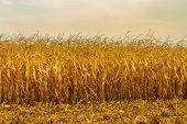 Corn Field In Autumn Season