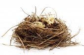 Quail Nest With Eggs