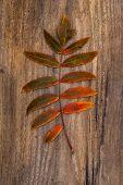 Green-red Leaf Of Rowan Lying On A Wooden Board
