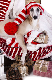 stock photo of gnome  -  whippet wearing a gnome hat - JPG