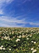 stock photo of calla  - Big picturesque field of large white flowers - JPG