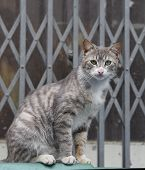 picture of domestic cat  - Portrait of a beautiful grey domestic cat animal - JPG