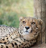 stock photo of cheetah  - portrait of cheetah female lieing in safari - JPG