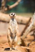 image of meerkats  - Alert meerkat standing on guard - JPG