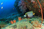 stock photo of angelfish  - Emperor Angelfish on coral reef - JPG