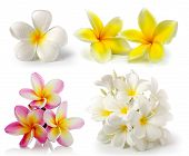 stock photo of frangipani  - frangipani flower isolated on white on white background - JPG