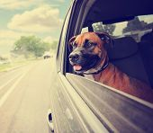 picture of bull-riding  -  a boxer pit bull mix dog riding in a car with her head out of the window toned with a retro vintage instagram filter effect app or action  - JPG