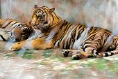 pic of caged  - Portrait of tigers in a cage in zoo - JPG