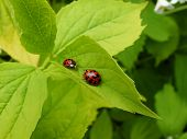 stock photo of harlequin  - Two harlequin ladybirds sitting on a green leaf - JPG