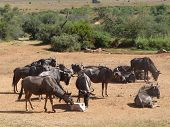 picture of wildebeest  - a Group of Wildebeests in South Africa - JPG