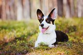 foto of corgi  - beautiful tricolor welsh corgi cardigan dog in the forest - JPG