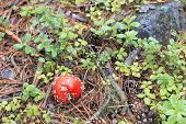 image of fairy-mushroom  - Red toadstool mushroom growing in autumnal forest - JPG