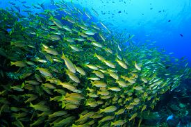 picture of bigeye  - Fish shoal on coral reef  - JPG