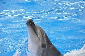 stock photo of bottlenose dolphin  - one bottlenose dolphin in blue pool water - JPG
