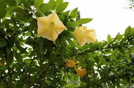 stock photo of angel-trumpet  - Yellow angels trumpet flower  - JPG