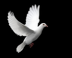 foto of holy-spirit  - a free flying white dove isolated on a black background.