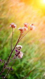 picture of scottish thistle  - Detail of a thistle with sun rays in summer fields - JPG