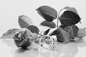 Rose and two wedding rings - b-w image