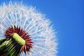 Macro of dandelion. Nature composition.