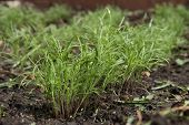 baby dill sprouts in a garden